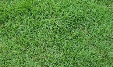 grama coreana