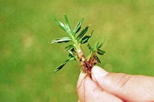 grama de pasto