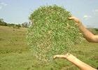 grama batatais preço
