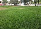 grama matogrosso