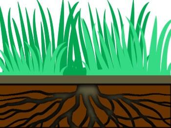 raiz da grama