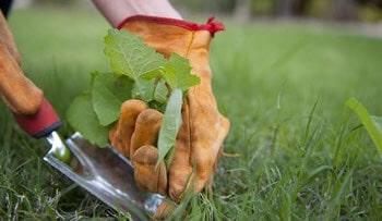 grama esmeralda cuidados pragas